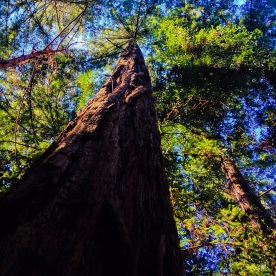 Giant Redwoods, Muir Woods National Monument